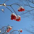Photos: 青い空と赤い実