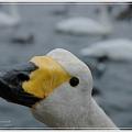 Photos: 白鳥さん