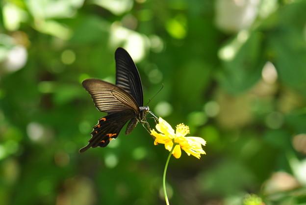 写真: アゲハチョウ科 クロアゲハ