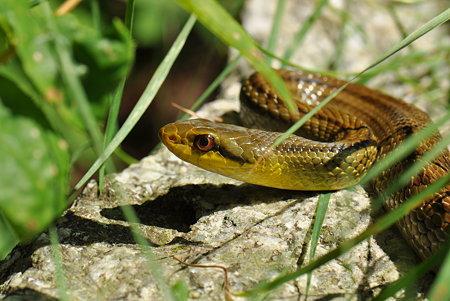 ナミヘビ科 シマヘビ