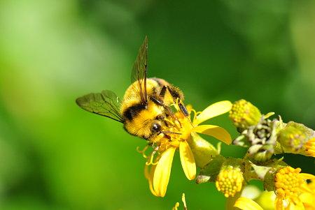 ミツバチ科 クロマルハナバチ♂