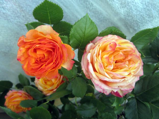 Floribunda Rose Baby Romantica