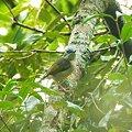 Photos: アカバネモズチメドリ♀(White-browed Shrike-babbler) IMGP123881_R