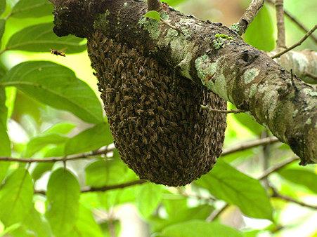 ミツバチの巣 IMGP125274_R