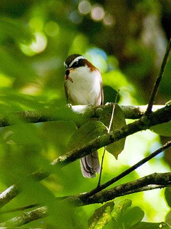 マミジロマルハシ(White-browed Scimitar-Babbler) IMGP125150_R