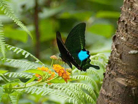 ルリモンアゲハ(Papilio Paris) IMGP126132_R