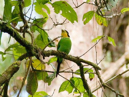 オナガヒロハシ(Long-tailed Broadbill) IMGP127568_R