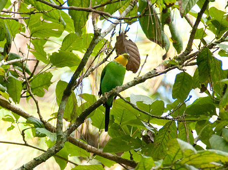 オナガヒロハシ(Long-tailed Broadbill) IMGP127572_R