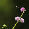 写真: オジギソウの花に群れるハチ P1280806_R