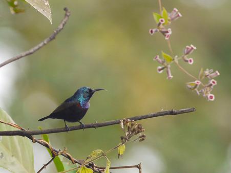 ムラサキタイヨウチョウ(Purple Sunbird) P1220709_R