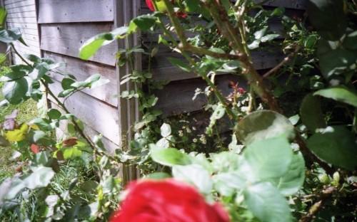 壁とバラの上部分