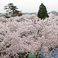 盛岡城跡公園(岩手公園)の桜・3