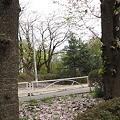 Photos: 桜舞い散る