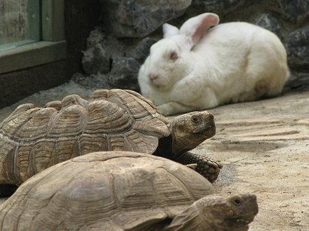 ケヅメリクガメ(?)&ウサギ@羽村市動物公園