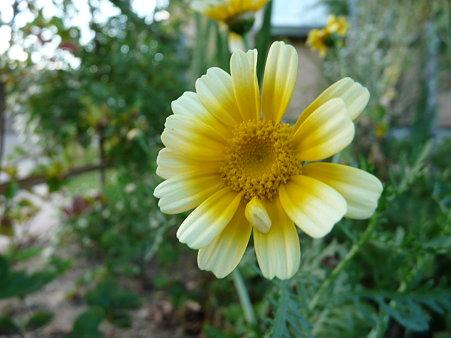 春菊の花〜自然のクイズ(回答編)★この花、何の花?