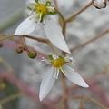 写真: ユキノシタの花 2012-4