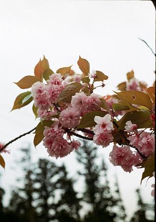 Yaezakura_OLYMPUS_PEN_FT_Kodak_PORTRA160NC_05092011-02