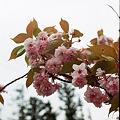 Photos: Yaezakura_OLYMPUS_PEN_FT_Kodak_PORTRA160NC_05092011-02