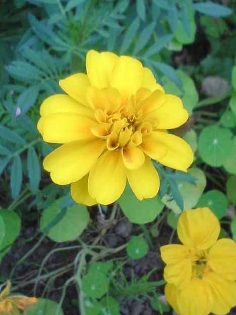 090930_marigold002
