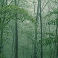 薄靄の新緑