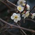 Photos: 寒梅