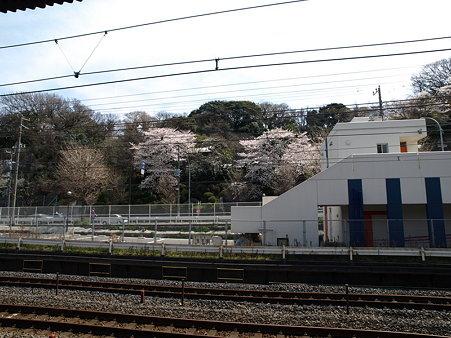 桜(保土ヶ谷駅前)