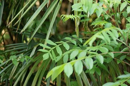 白膠木(ヌルデ)