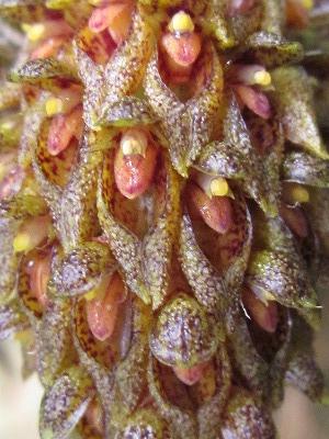 Bulb.crassipes