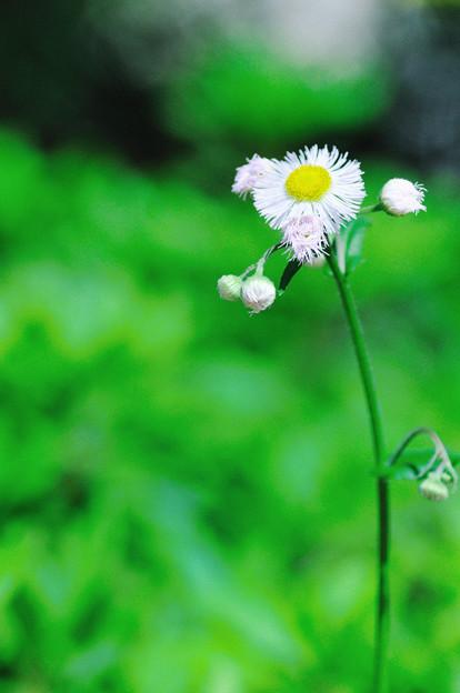 Photos: ほら ここに 揺れる白い花