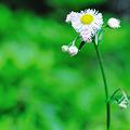 ほら ここに 揺れる白い花