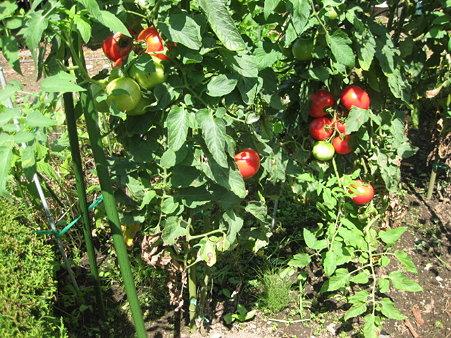大きいトマト