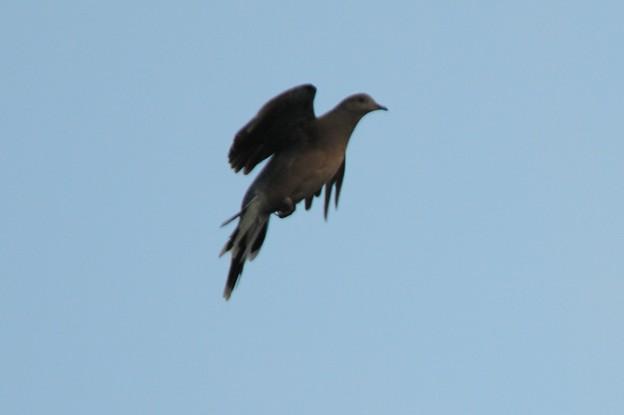 Photos: 野鳩の飛翔