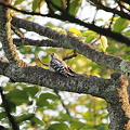 Photos: コゲラの幼鳥