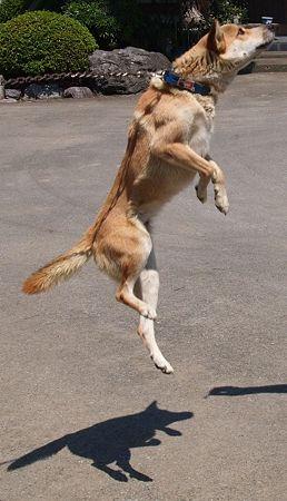 犬モモジャンプ