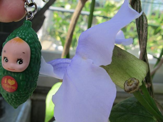 コダチヤハズカズラの花1