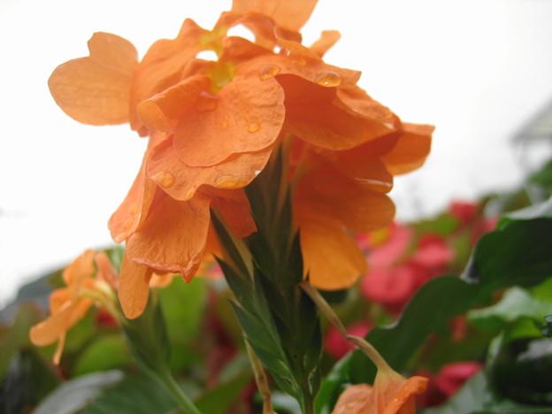 クロサンドラの花2