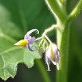 写真: フォックスフェイスの花