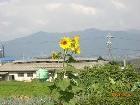 まだ向日葵が咲いています