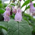 コンフリー(紫科)