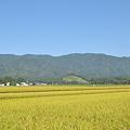 写真: もうすぐ稲刈り