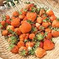 Photos: イチゴの収穫