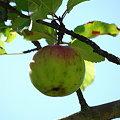 Apple Tree 9-6-09