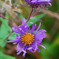 New England Aster 10-8-09