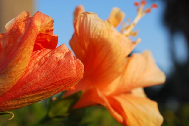 4-11-09 Orange Hibiscus