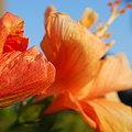 Photos: 4-11-09 Orange Hibiscus