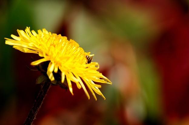 dandelion with hunny-bee
