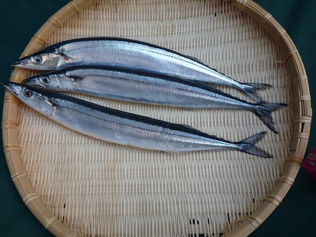 Photos: テカテカに光る秋刀魚