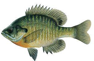 Bluegill copy