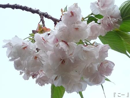 110417-造幣局 桜の通り抜け (65)