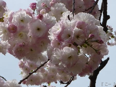 110417-造幣局 桜の通り抜け (101)